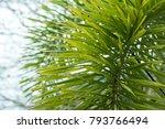 Small photo of Close up of Foxtail Palm leaves (Wodyetia bifurcate A.K. Irvine).