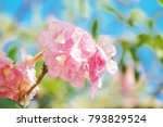 Blooming Ping Trumpet Flower O...