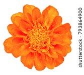 orange marigold flower isolated ... | Shutterstock . vector #793864900