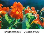 Nice Blooming Nasturtium In...