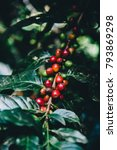Small photo of Arabicas Coffee Tree on Coffee tree at Doi Chaang in Thailand, Coffee bean Single origin words class specialty.vintage nature background