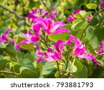 the orchid tree  bauhinia...   Shutterstock . vector #793881793