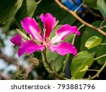 the orchid tree  bauhinia...   Shutterstock . vector #793881796