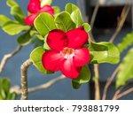 adenium   colorful species of...   Shutterstock . vector #793881799