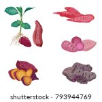 sweet potato set isolated on... | Shutterstock .eps vector #793944769