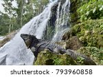 iguana in the forest beside a... | Shutterstock . vector #793960858