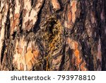Small photo of Pine bark. Orange resin on the bark of a tree, coniferous tree. Coniferous tree species close-up.