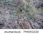 Small photo of Multiple agave plants clinging to a cocky mountain