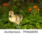 Cute Little Duckling Over Gree...