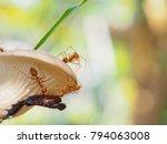 ants carry leg bug to nest on... | Shutterstock . vector #794063008