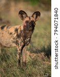 Small photo of A vertical, colour photograph of an African wild dog, Lycaon pictus, standing and looking at the camera in side light in the Okavango Delta, Botswana.
