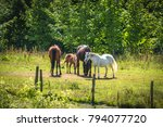 horses on a meadow in the... | Shutterstock . vector #794077720
