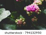 kalanchoe plant in dark moody... | Shutterstock . vector #794132950