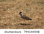 plover or red ragged lapwing in ... | Shutterstock . vector #794144548