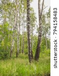 Small photo of Spring in a birch grove. Nature in the vicinity of Pruzhany, Brest region.
