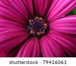 Purple Daisy  Close Up At The...