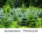 green forest of conifers | Shutterstock . vector #794161210