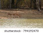 axis deer in yala national park ... | Shutterstock . vector #794192470