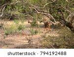 axis deer in yala national park ... | Shutterstock . vector #794192488