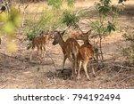 axis deer in yala national park ... | Shutterstock . vector #794192494