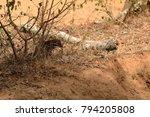 indian mongoose in yala... | Shutterstock . vector #794205808