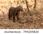 indian mongoose in yala... | Shutterstock . vector #794205820