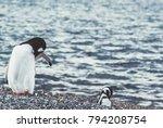 gentoo penguin  pygoscelis... | Shutterstock . vector #794208754