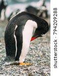 gentoo penguin  pygoscelis... | Shutterstock . vector #794209288