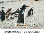gentoo penguin  pygoscelis... | Shutterstock . vector #794209300