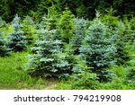 green young conifers | Shutterstock . vector #794219908