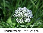 Small photo of Blossoming goutweed. Close up. Macro. Flower vegetable background horizontally. Aegopodium. Apiales Family.