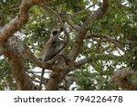southern hanuman langur in yala ... | Shutterstock . vector #794226478
