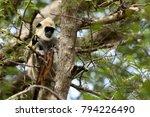 southern hanuman langur in yala ... | Shutterstock . vector #794226490