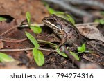 The Wood Frog  Lithobates...