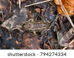 the wood frog  lithobates... | Shutterstock . vector #794274334