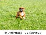 Stock photo purebred fawn boxer puppy 794304523