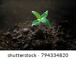 a small plant of cannabis... | Shutterstock . vector #794334820