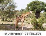 the giraffe  giraffa   genus of ... | Shutterstock . vector #794381806