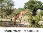 the giraffe  giraffa   genus of ... | Shutterstock . vector #794381818