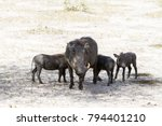 Small photo of The common warthog (Phacochoerus africanus), wild member of the pig family (Suidae) found in grassland, savanna, and woodland in Tarangire National Park, Tanzania