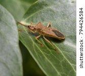 box bug   gonocerus... | Shutterstock . vector #794426584