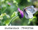 Black Veined White Butterfly ...