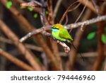 green bee eater or merops... | Shutterstock . vector #794446960