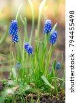 Grape Hyacinth Flowers Bloomin...