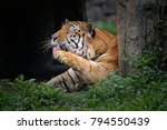 the tiger  panthera tigris  is... | Shutterstock . vector #794550439