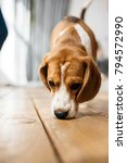 a portrait of a beagle dog | Shutterstock . vector #794572990