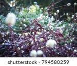 grass flower with sunset light  ...   Shutterstock . vector #794580259