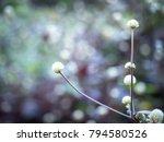grass flower with sunset light  ...   Shutterstock . vector #794580526