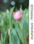 tulip flower. beautiful bouquet ...   Shutterstock . vector #794593120