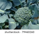 young broccoli growing on the... | Shutterstock . vector #79460260